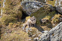 Arctic fox (Vulpes lagopus), a pup, sits in front of its den between feathers of captured birds, Spitsbergen, Norway, Europe
