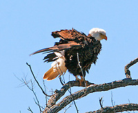 """Another shot of the """"auntie"""" bald eagle at LLano"""