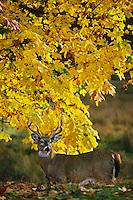 White-tailed deer (Odocoileus virginianus) buck