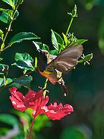 Brown-throated Sunbird (Anthreptes malacensis)Palawan
