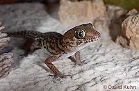 1105-0901  Panther Gecko (Pictus Gecko), Paroedura picta  © David Kuhn/Dwight Kuhn Photography