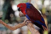 Océanie/Australie/Queensland/Cairns: perroquet dans la Rainforest