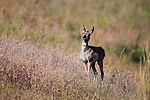 Pronghorn Antelope fawn in Montana