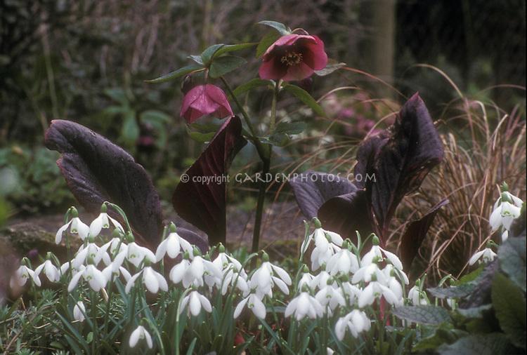 Helleborus hybridus hellebore - red seedling + Bergenia + Galanthus nivalis snowdrops, winter bulbs and flowers