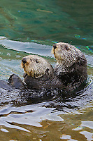 Sea Otters (Enhydra lutris).