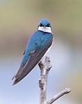 Tree Swallow in Potters Marsh, Alaska
