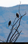 Bald Eagles and Starlings, Bosque del Apache Wildlife Refuge, New Mexico