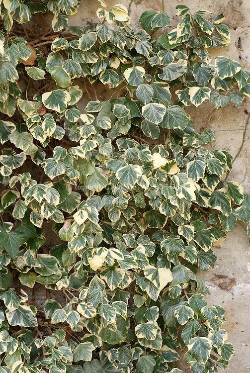 Hedera helix 'Marginata' ivy climbing a dry shaded wall