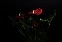 London, UK. 01.07.2020. Red Anthurium houseplant on a black background. Photograph © Jane Hobson.