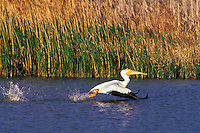 White pelican (Pelecanus erythrorhynchos), Bear River Migratory Bird Refuge, Utah, May.