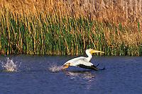 White pelican (Pelecanus erythrorhynchos), Bear River Migratory Bird Refuge, Utah, May.