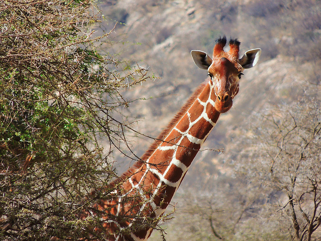 Reticulated Giraffe, Samburu