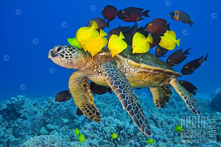 An endangered green sea turtle (Chelonia mydas) being cleaned by yellow tang (Zebrasoma flavescens), gold-ring surgeonfish (Ctenochaetus strigosus) and endemic saddle wrasse (Thalassoma duperrey), Kona Coast, Big Island