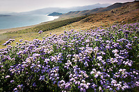 Wild Heliotope (Phacelia crenulata) and Lake Isabella. Kern County California