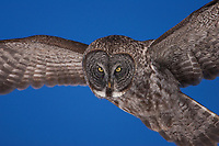 A Great Gray Owl flies within inches of my camera without making a single sound.<br />