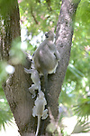 Hanuman Langurs Climbing Tree