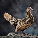 05/05/08 - LAMOTTE BEUVRON - LOIR ET CHER - FRANCE - Elevage avicole de Pascal BOVE. Poule Sebright citronnee- Photo Jerome CHABANNE