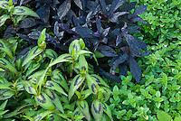 Persicaria odorata aka Vietnamese coriander aka rau răm, while in Malaysia and Singapore it is called daun kesom or daun laksa (laksa leaf). In Thailand, it is called phak phai ผักไผ่, with thyme Thymus herb, Ipomoea Blackie