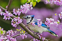 Blue Jay (Cyanocitta cristata) in Redbud tree with spring flowers. Lake Erie.