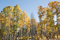 Quaking aspen, Populus tremuloides. Hope Valley, Sierra Nevada Mountains, California