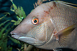 Rooster hogfish close-up