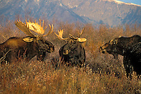 Mature Bull & Cow MOOSE dominate a young bull that has intruded into an autumn courtship - three's a crowd. Rocky Mountains. Grand Teton National Park, Wyoming. U.S.A. (Alces alces)