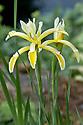 Iris kerneriana, late May. A species iris originally from Turkey.