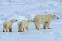 Polar bear (Ursus maritimus) sow withcubs.