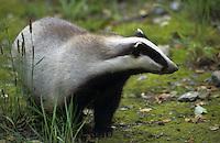 Europäischer Dachs, Meles meles, Old World badger