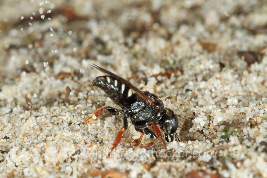 Weißfleckige Fliegenspießwespe, Weißfleckige Fliegenspiesswespe, Gemeine Spießwespe, Oxybelus uniglumis, Common Spiny Digger Wasp, Square-headed Wasp