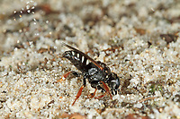 Weißfleckige Fliegenspießwespe, Weißfleckige Fliegenspiesswespe, Gemeine Spießwespe, Oxybelus uniglumis, Common Spiny Digger Wasp, Square-headed Wasp