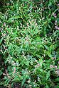 Redshank (Persicaria maculosa), mid September.