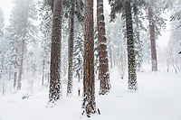 These White Fir trees are weathering the firest winter storm of the season and providing a striking contrast to the surrounding landscape.