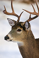 White-tail deer buck (Odocoileus virginianus).