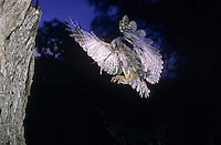 Eastern Screech-Owl, Megascops asio, Otus asio, adult in flight landing at cavity with prey, Willacy County, Rio Grande Valley, Texas, USA, May 2004