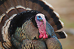 A Tom Turkey with colorful Wattle during spring courtship display