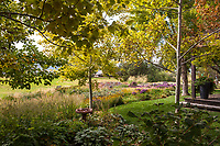 Aspen trees 'Prairie Gold in backyard prairie garden; Scripter garden, Colorado; design Lauren Springer Ogden