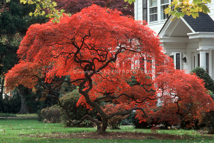 Acer palmatum var dissectum in red fall foliage color, with twisting trunk and traditional white Colonial style house and lawn