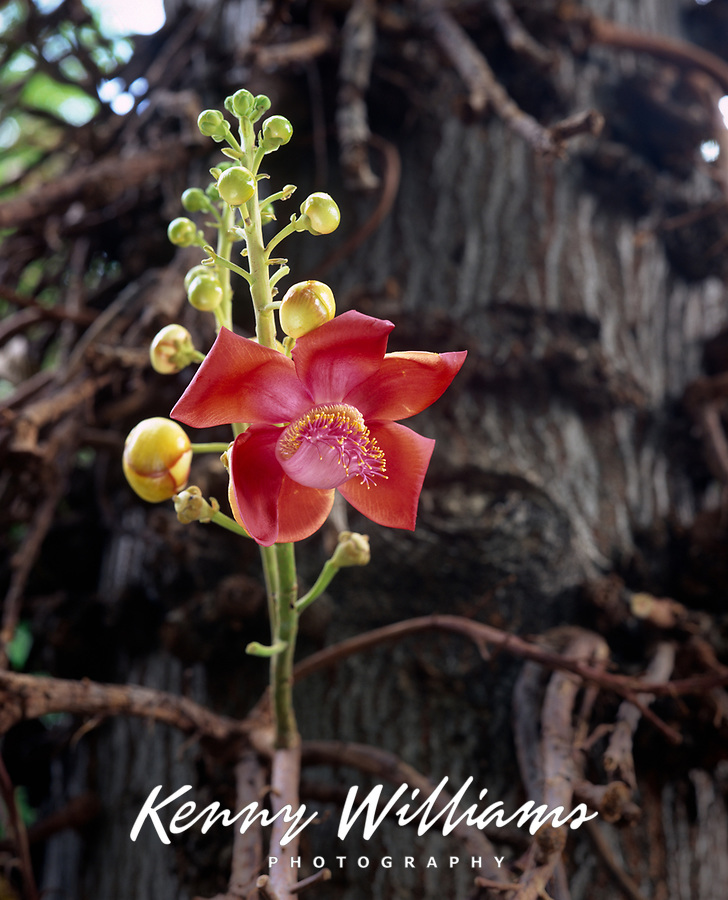 Cannonball Tree Flower, Tropical Flowering Trees, Hawaii, USA.