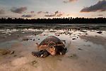 At sunrise, hawskbill turtle (Eretmochelys imbricata) mother makes her way back to sea after laying her eggs on the beach. Low tide falls very low and wide in Moromaho Island