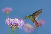 Buff-bellied Hummingbird, Amazilia yucatanenensis, male feeding on American basket-flower (Centaurea americana), Sinton, Coastel Bend, Texas, USA