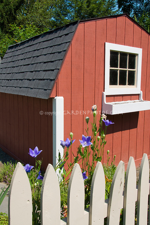 Platycodon grandiflorus blue flowers against picket fence, red barn potting shed, blue sky, trees, garden