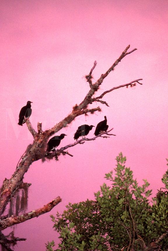 Black Vultures, ceragyps atratus, roosting in a tree at dusk in Myaka State Park in Florida.