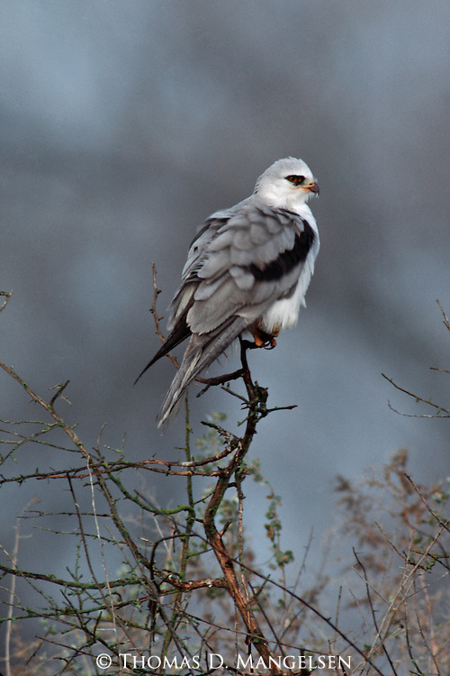 Close-up of White-tailed Kite perched on branch.