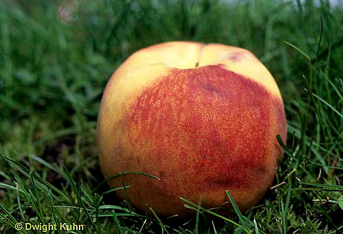 DC21-019d  Peach on ground - (decomposition of peach series: DC21-018e,019d,021d, 022e)