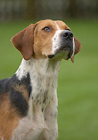 Two and a half year old Woodbine. (female)...Foxhound.