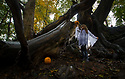 """26/10/18<br /> <br /> To mark Halloween Freya Kirkpatrick, 10, visits Britain's spookiest tree know as The Chained Oak.<br /> <br /> The oak tree has been tied up with iron chains since the 1800s after a curse was put on the tree.<br /> <br /> The legend goes that on an autumn night Earl of Shrewsbury was returning to his home at Alton Towers when an old woman suddenly appeared in the road. The coach stopped to find why she was there, and then the old woman begged for a coin. The Earl cruelly dismissed her, so the old woman placed a curse on him. The old woman said, """"For every branch on the Old Oak Tree here that falls, a member of the Earl's family will die."""" The Earl dismissed this and carried on his way.<br /> <br /> The same night a violent storm caused a single branch from the old oak tree to break and fall. Later that same night, a member of the Earl's family suddenly and mysteriously died.<br /> <br /> Now firmly believing the power of the curse, Earl ordered his servants to chain every branch together to prevent other branches from falling. To this day, the Oak tree remains chained up.<br /> <br /> All Rights Reserved, F Stop Press Ltd. (0)1335 344240 +44 (0)7765 242650  www.fstoppress.com rod@fstoppress.com"""
