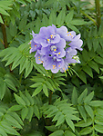 Bressingham Purple Jacob's Ladder, Polemonium caeruleum