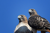 Red-tailed Hawks, Davis Mountains, TX