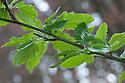 Sorbus x thuringiaca 'Fastigiata', new spring foliage, late April. Common names include Bastard service tree, Oak-leaved rowan, and Oakleaf mountain ash.